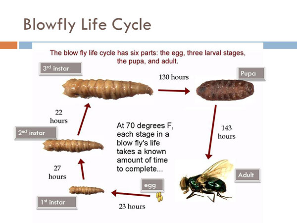 Blowfly Life Cycle